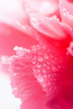 goździka kropelek kwiatu macro woda Zdjęcie Royalty Free