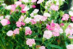 Goździka kwiat Zdjęcia Royalty Free