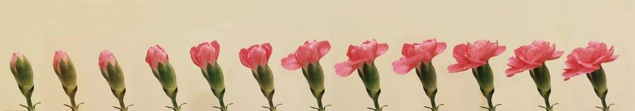 Goździka kwiat Obraz Royalty Free