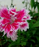 Goździka kwiat Obraz Stock