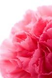 goździka kwiatu odosobniony macro Obraz Royalty Free