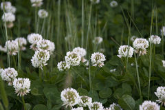 Goździkowi kwiaty Obraz Stock