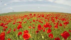 Go through the poppy field. Slow motion. Go through the poppy field on which bees fly. Slow motion stock footage