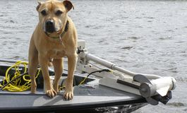 Go for a ride?. Pit Bull in bow of boat Stock Photos