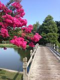Go where the cart path takes you. Fuchsia crepe myrtle by cart bridge at Crow Creek Golf Course Stock Image