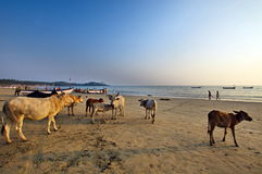 Goa beach  Palolem India, beaches with holy cow cows Stock Photography