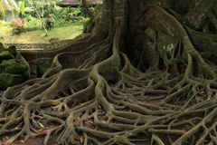 Goa Gajah 08. A majestic tree on the site of Goa Gajah Elephant Cave Hindu religious site in Bali Indonesia stock photography