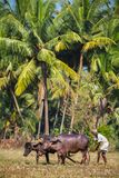 GOA, INDIA - 21 DICEMBRE: Agricoltori che arano campo agricolo dentro Fotografia Stock Libera da Diritti