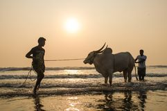 Two men holding and splashing cow in the sea at sunset. Royalty Free Stock Photos