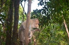 Little monkey eating a banana. Goa, India. little monkey eating a banana royalty free stock images