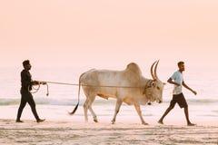 Free Goa, India. Two Men Leading Bull Along Beach Stock Image - 183071541