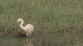 Goa, India. White Little Egret Catching Fish In River Pond. Ungraded Canon C-LOG