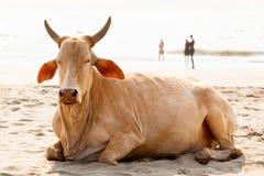 Goa plaży krowa obraz royalty free