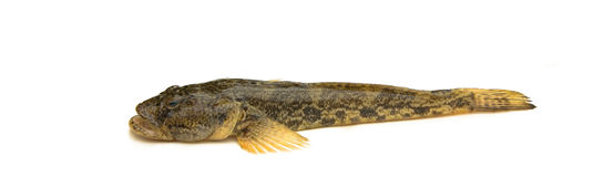 Goad goby Royalty Free Stock Image