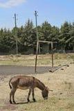 Goal and doney, Ethiopia. Scene near Addis Ababa, Africa stock photos