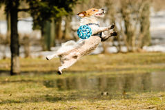 Goalkeeper catching ball in jump. Dog playing at spring park. Dirty Jack Russell Terrier playing near melting puddle Royalty Free Stock Photography
