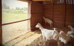 Goats in barn Royalty Free Stock Photos