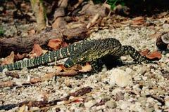 Goanna澳大利亚妖怪蜥蜴 库存图片