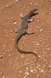 Goanna песка Стоковая Фотография RF