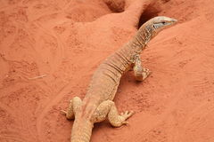 Goanna. A goanna basks in the warmth of the outdoors on the red sand in Australia's outback or red center. Also available as a close-up Stock Images