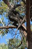 Goanna acima de uma árvore Foto de Stock