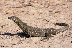 Goanna in the wild stock photography