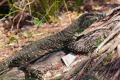 Goanna in the wild Stock Photo