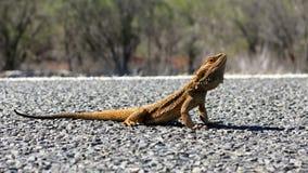 Goanna, australia Stock Images