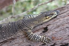 Goanna climbing tree Royalty Free Stock Image