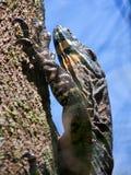 Goanna, das einen Baum steigt Lizenzfreie Stockfotos