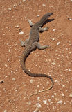 Goanna de sable Photographie stock libre de droits