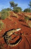 Goanna in desert Royalty Free Stock Photo