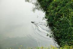Goanna die in het pond zwemmen Royalty-vrije Stock Foto