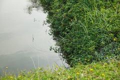 Goanna die in het pond zwemmen Stock Afbeelding