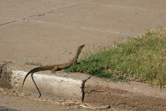 A goanna on footpath in outback town Royalty Free Stock Image