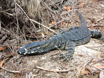 Goanna on forest floor closeup Stock Photography