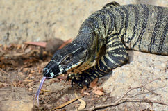 Goanna Stock Photo
