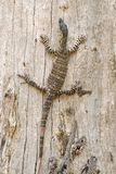 Goanna just hanging around Stock Image
