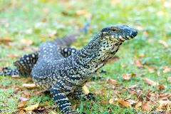 Goanna, large Australian native lizard Stock Photos