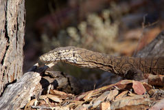 Goanna lizard Royalty Free Stock Photography