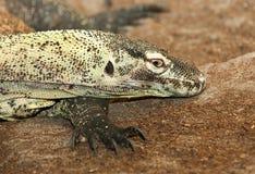 Goanna lizard Stock Images