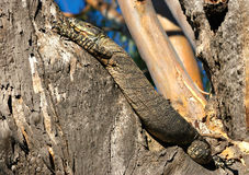 Goanna lizard reptile in tree  Royalty Free Stock Image