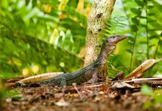 Goanna lizard in undergrowth Royalty Free Stock Images