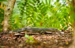 Goanna lizard in undergrowth Royalty Free Stock Image