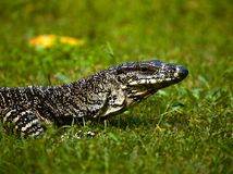 Goanna Looking. A goanna on the grass with it's head up looking around royalty free stock photo