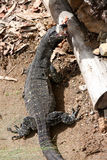 Goanna Monitor Lizard Australia Stock Photography