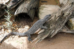 Goanna Monitor Lizard Australia Royalty Free Stock Photo