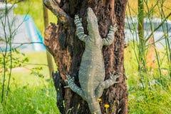 Goanna monitor lizards of the genus Varanus, climbing a tree royalty free stock images