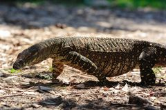 Goanna no selvagem Foto de Stock Royalty Free