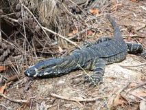 Free Goanna On Forest Floor Australian Wildlife Stock Photography - 35863402